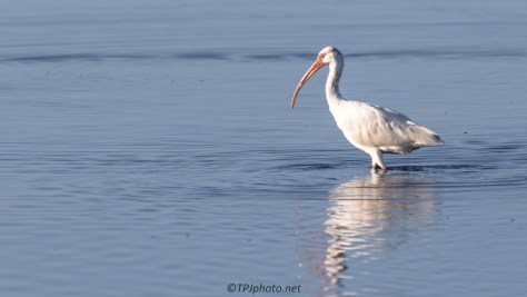 White Ibis, Slow And Deliberate - click to enlarge