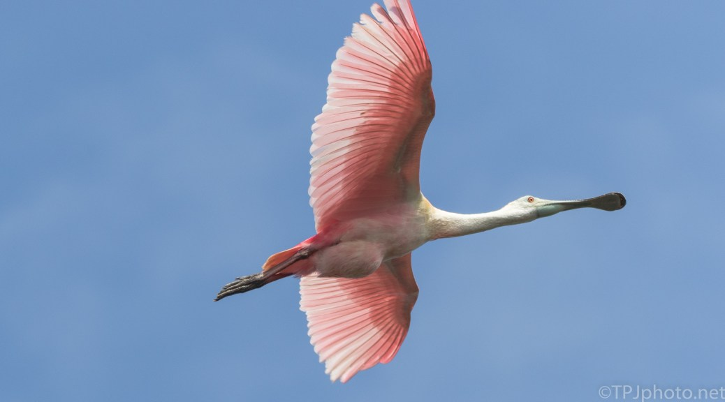 Roseate Spoonbill, Low Overhead - click to enlarge
