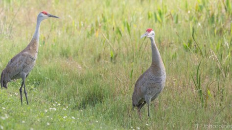 Sandhill Cranes, Mated Pair - click to enlarge