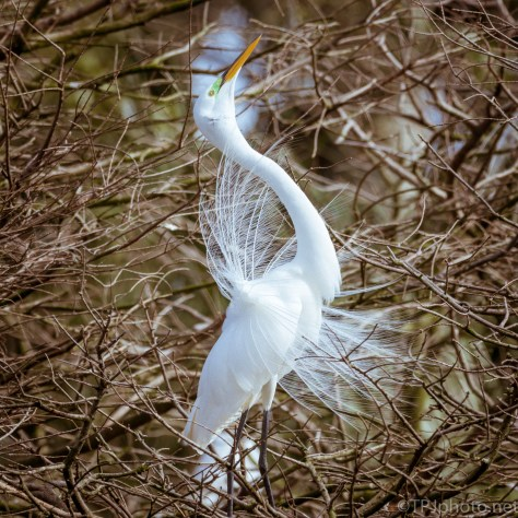 Great Egret Display - click to enlarge