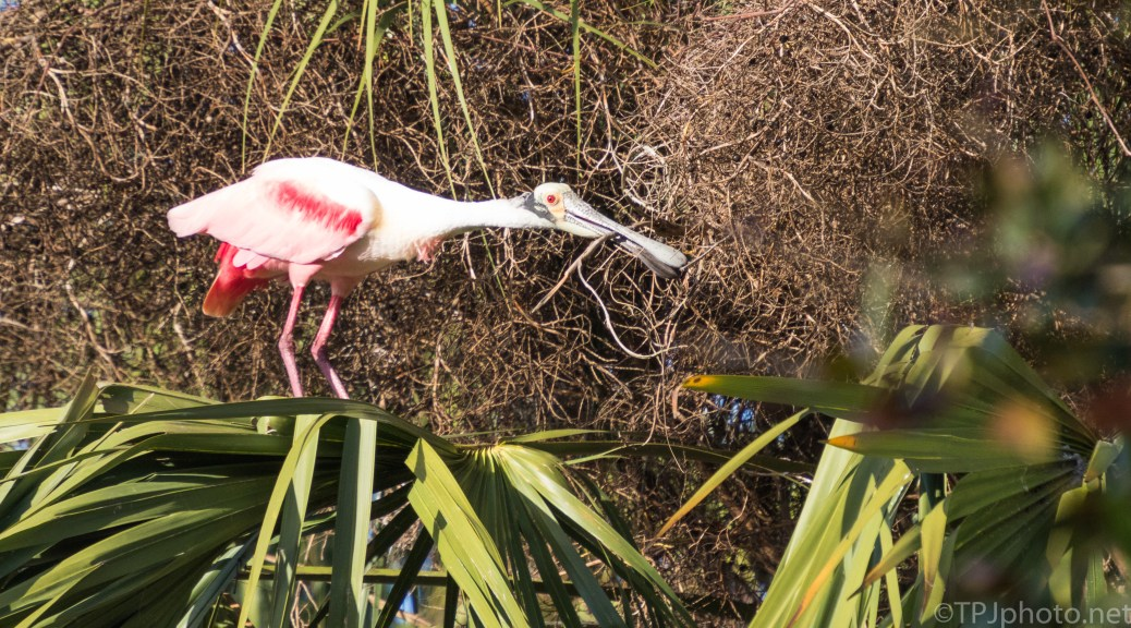 Gathering The Sticks, Spoonbill - click to enlarge