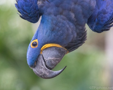 Hyacinth Macaw - click to enlarge