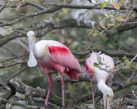 Spoonbill Pair, Nest Building - click to enlarge