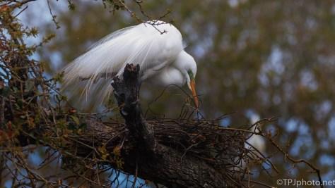 Great Egret, Nest Work - click to enlarge