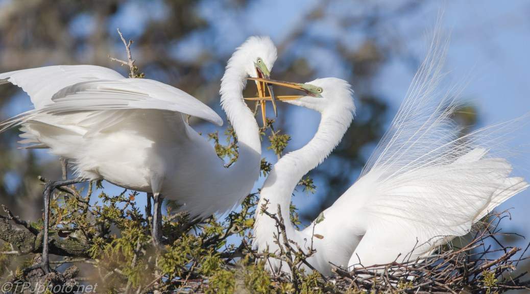 Great Egrets At A Nest - click to enlarge