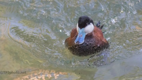 Blue-billed Duck - click to enlarge