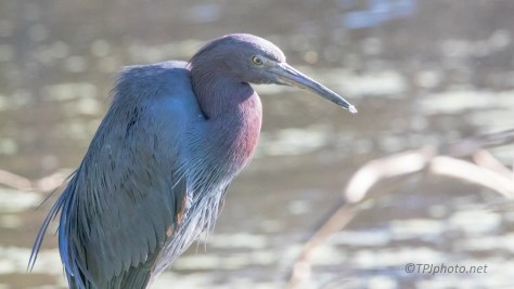 Little Blue Heron, Not Full Breeding Color Yet - click to enlarge