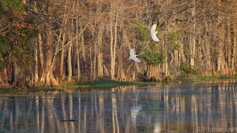 Last Dance Of The Night, Egrets - click to enlarge