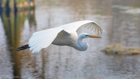 Slowly Passing By, Great Egret - click to enlarge