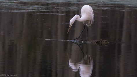 Checking Out That Other Bird, Egret - click to enlarge