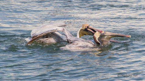No Sharing Here, Pelicans - click to enlarge