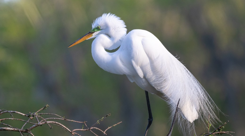 In The Sun, Great Egret - click to enlarge
