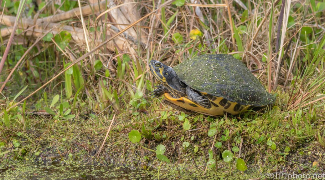Not Easy Being A Turtle - click to enlarge