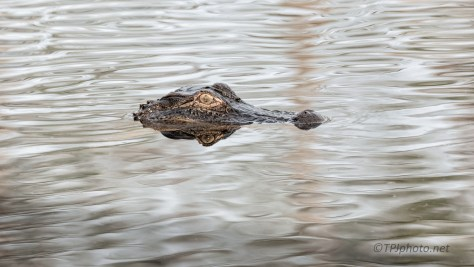 Alligator, Low Light And Reflections - click to enlarge