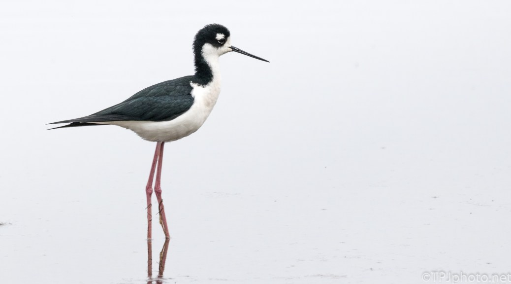 Graceful Black Necked Stilt - click to enlarge