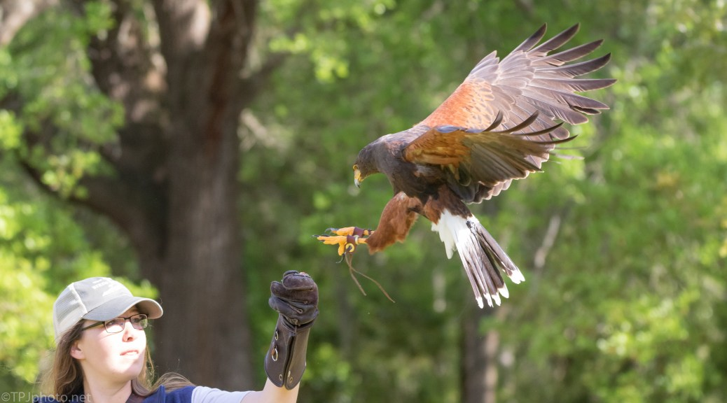 Harris Hawk With Handler - click to enlarge