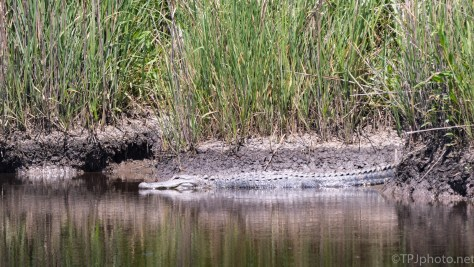 An Alligator Kind Of Day - click to enlarge