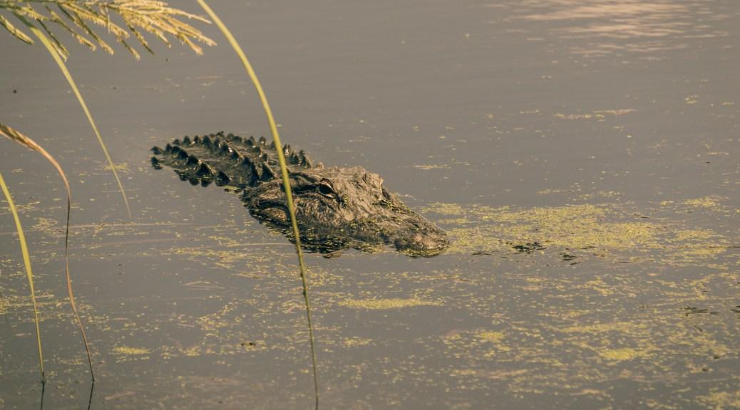 Gold Light, Alligator - click to enlarge