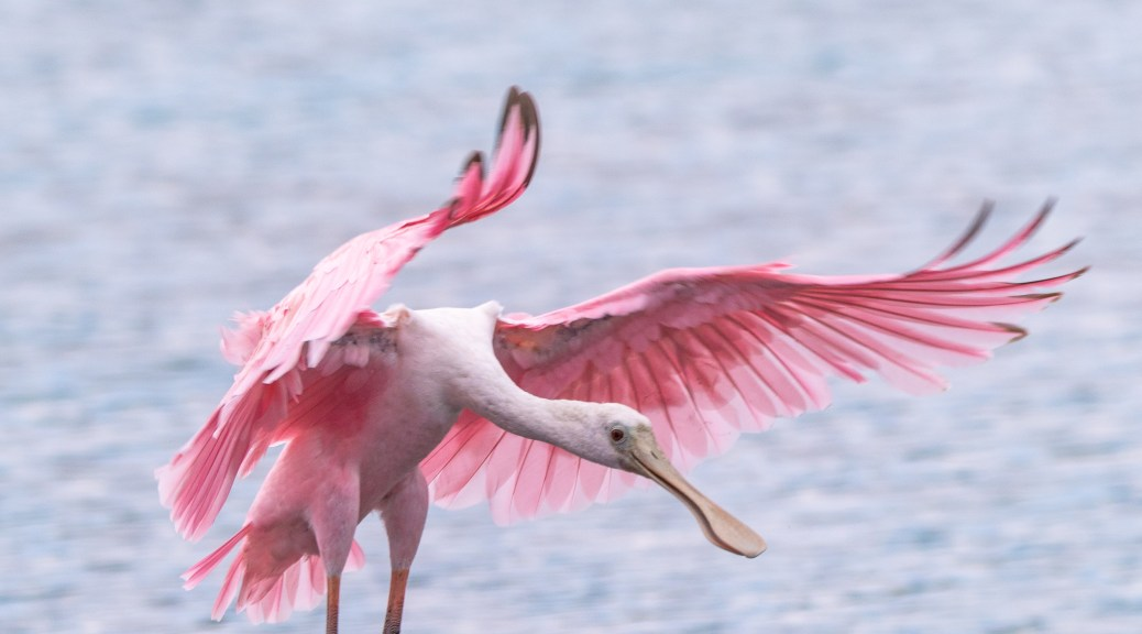 Roseate Spoonbill Landing - click to enlarge