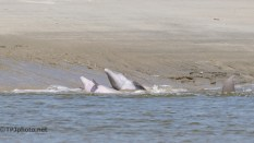 Dolphins, Change Of Location - click to enlarge