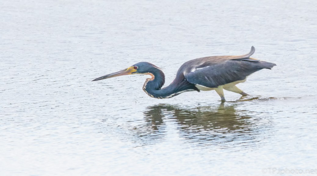 Sneaking By, Tricolored Heron - click to enlarge