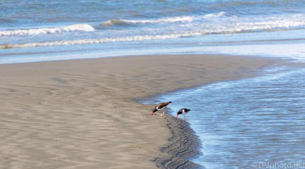 Oyster Catchers Working The Tide - click to enlarge