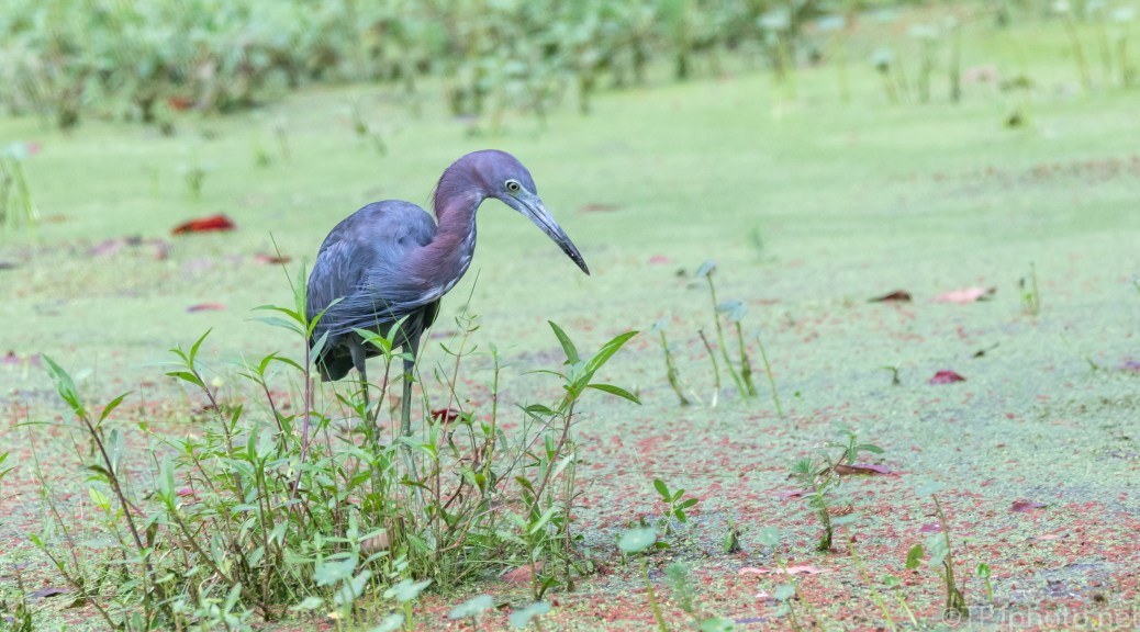 A Little Blue Heron (2) - click to enlarge