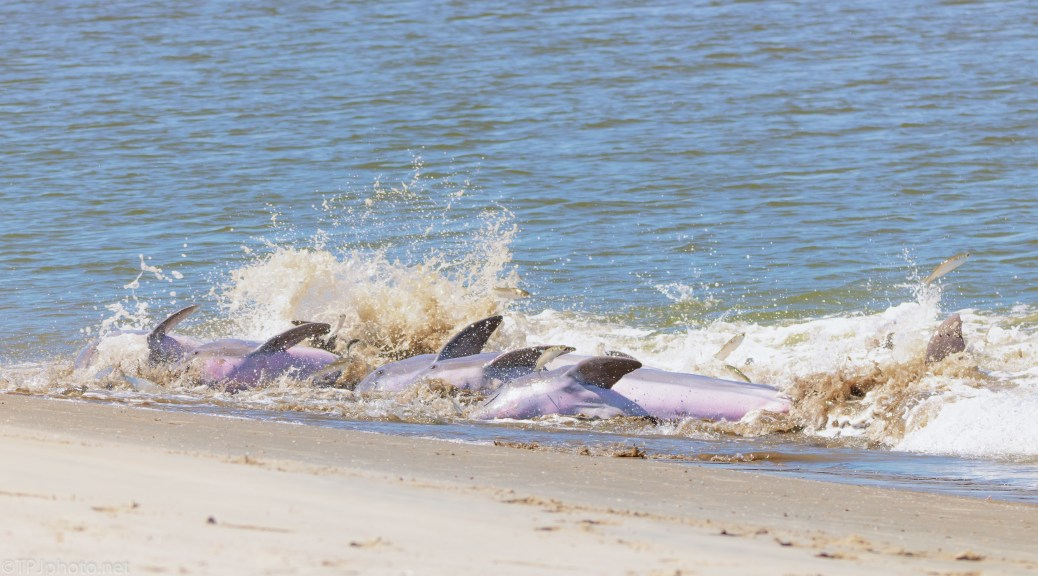 Another Big Strand Feeding, Dolphins - click to enlarge
