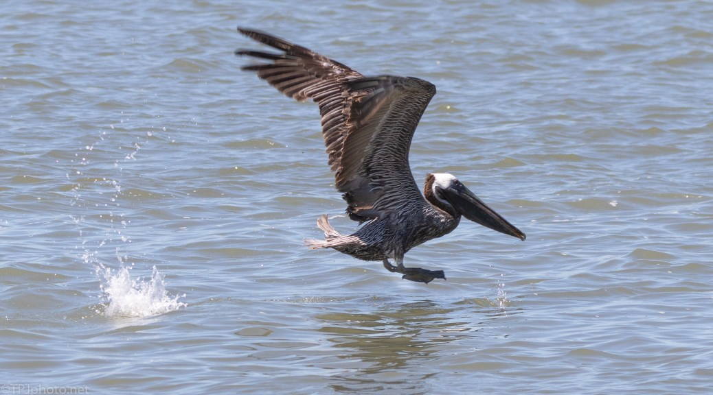 Pelican Going Into Flight - click to enlarge