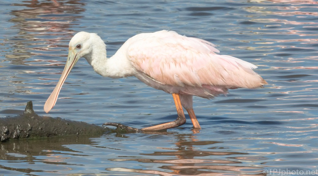 Spoonbill - click to enlarge