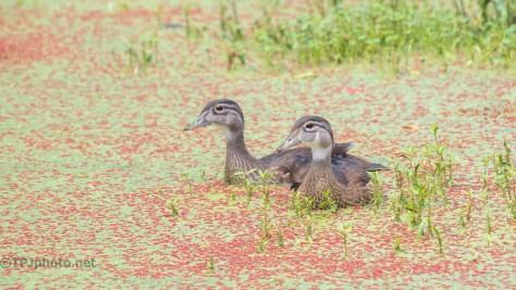 Still Around, Wood Ducks - click to enlarge