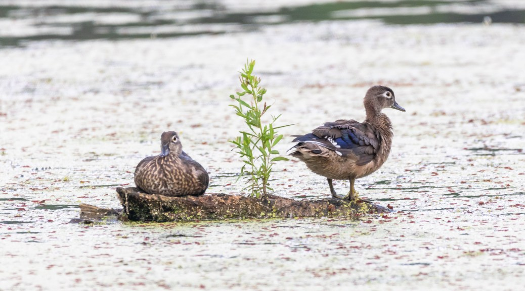 Young Wood Ducks - click to enlarge