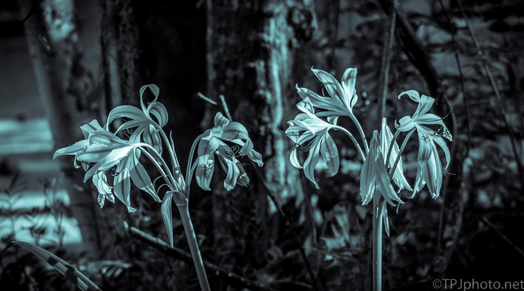 Lily In Cyan - click to enlarge