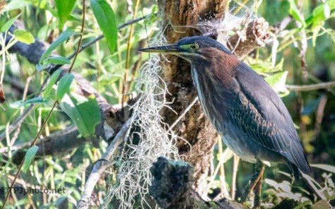Green Heron In A Swamp - click to enlarge