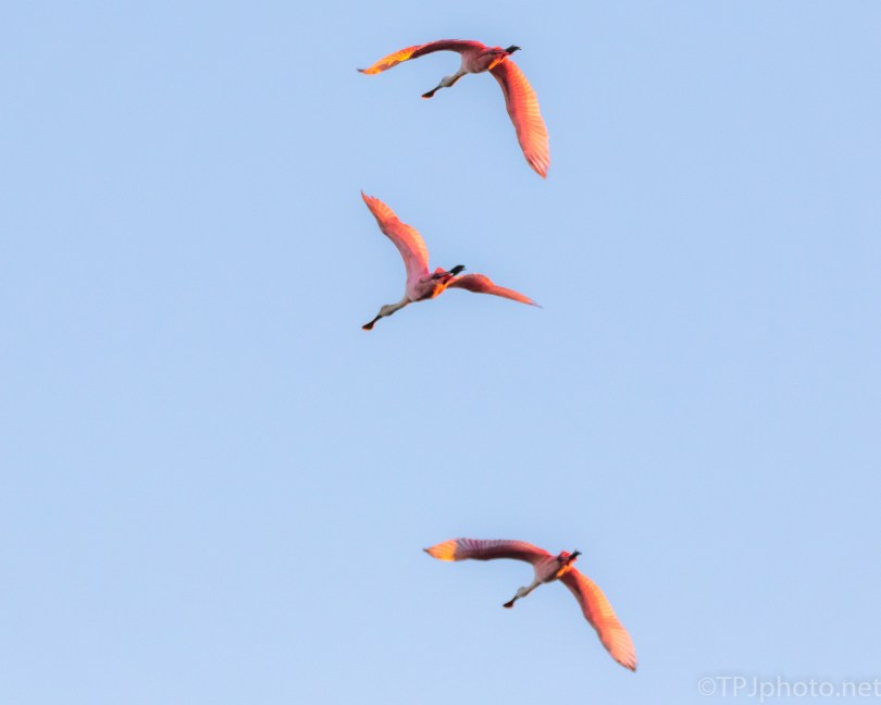 Sunrise Shining On Pink Birds, Spoonbills