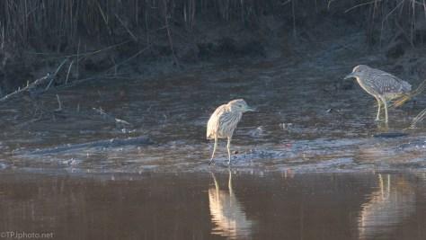 Juvenile Night Heron - click to enlarge