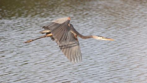 Fly By, Great Blue Heron