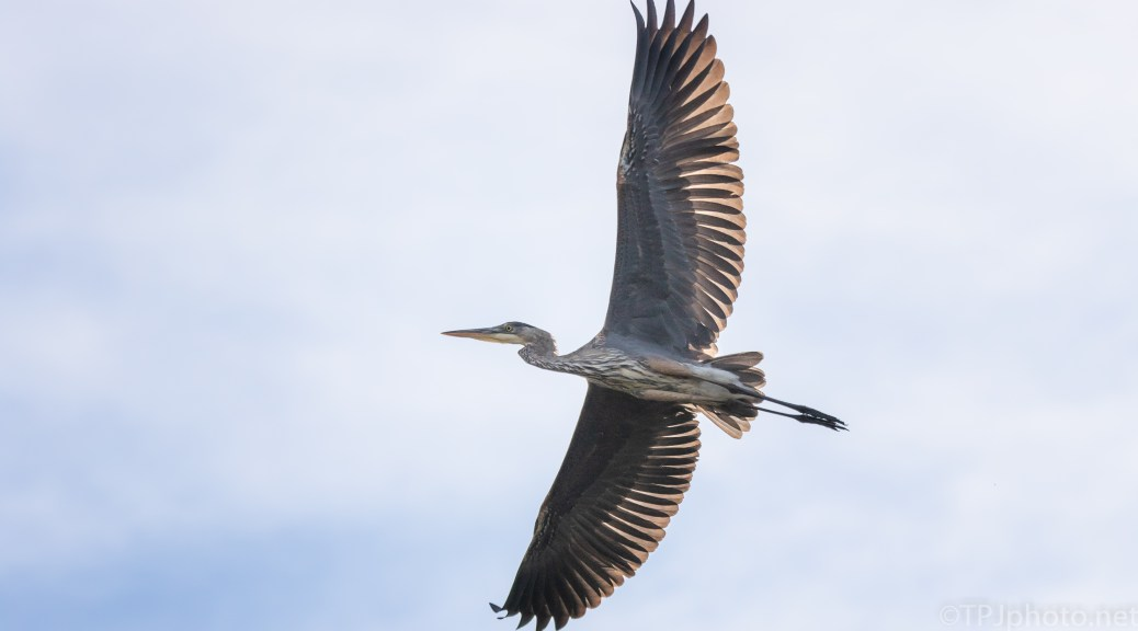 Passing Overhead, Great Blue Heron - click to enlarge