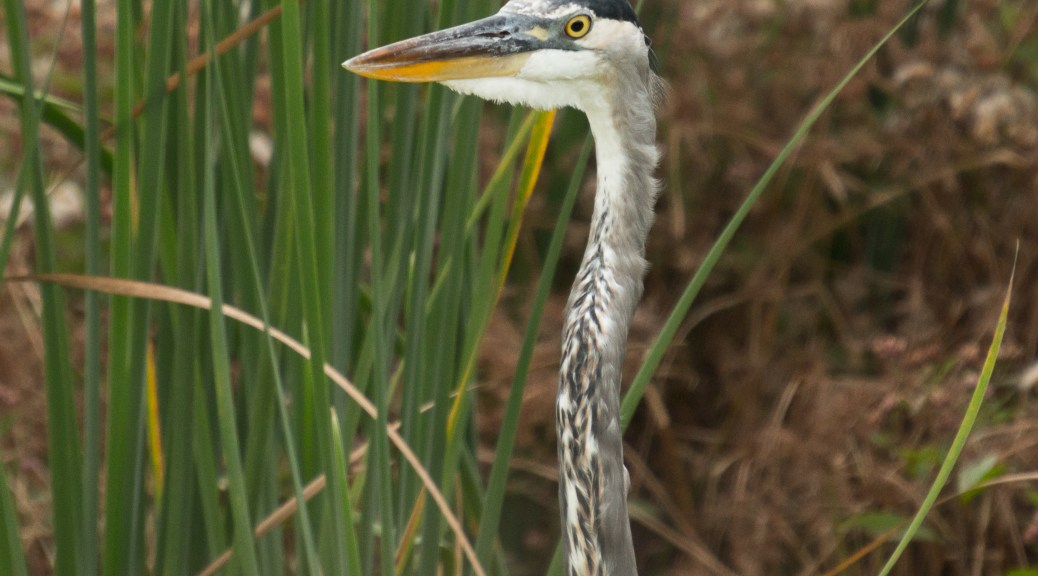 Who Blinks First, Heron - click to enlarge