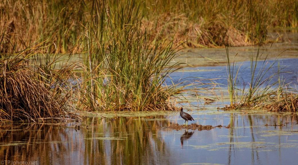 Moor Hen, Common Gallinule - click to enlarge