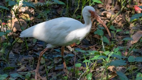Ibis In The Mud - click to enlarge