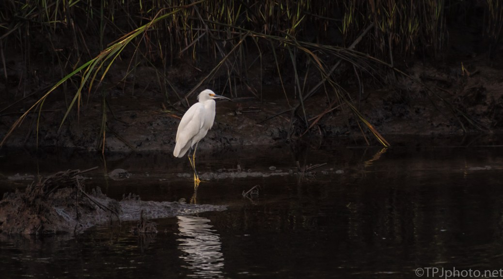 Snowy Egret In A Dark Spot