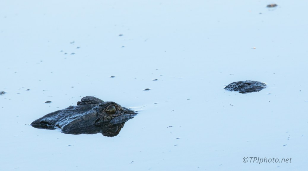 How Big Is Big, Alligator - click to enlarge
