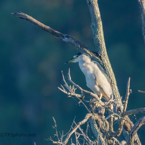 Black-crowned Night Heron Early Light - click to enlarge