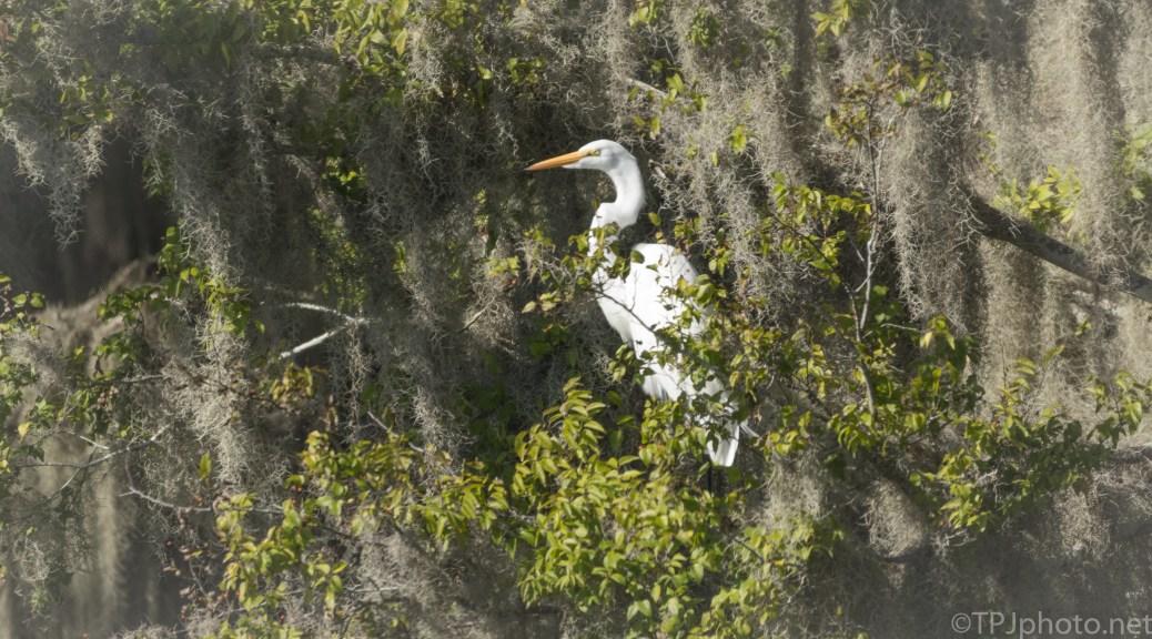 Hidden Great Egret - click to enlarge