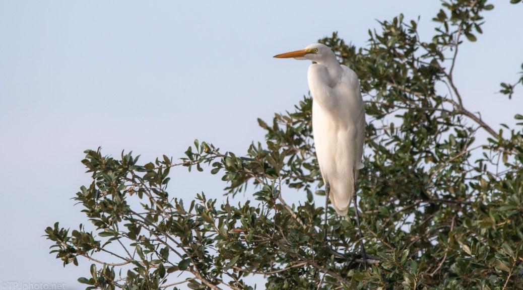 Tree Sitting Egret - click to enlarge