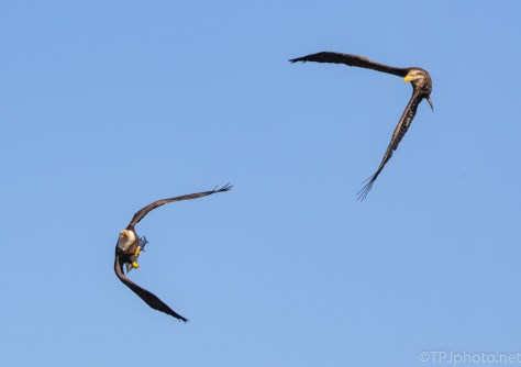 Eagles Sparring Over A Fish - click to enlarge