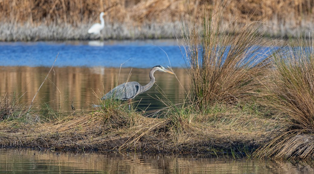 Great Blue Hunting - click to enlarge