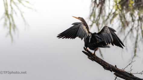Anhinga Perched To Dry - click to enlarge