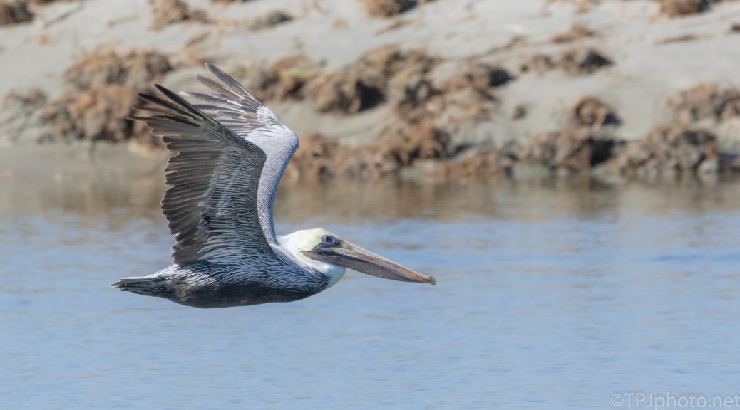 Brown Pelican, Passing By Fast - click to enlarge